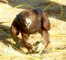 Golden Eagle -- Just Walkin' by PacificPikachu