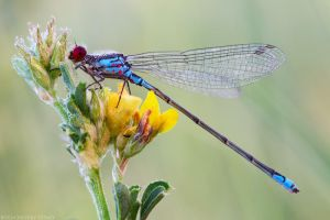 Dragon-fly red-eye by Viand