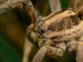 Wolf spider by geckogr