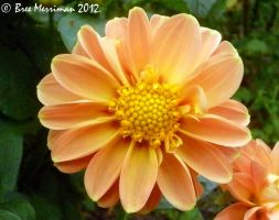 Dahlia Flower by BreeSpawn