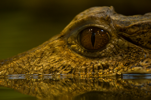 Caiman Eye by toshema
