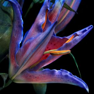 Blue Lily 01 by s-kmp
