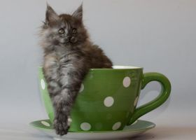 Little cup of coon Chelsea by ropo-art