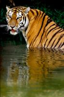 Tiger in Water 5 by Art-Photo