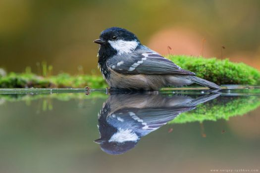 Coal tit in water by Sergey-Ryzhkov
