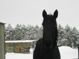 Winter Percheron by NamidaWolf