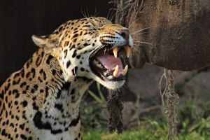 Jaguar by psychostange