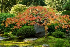 Japanese Maple Tree by SonjaPhotography