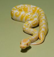 Albino royal python 2 stock by AngiWallace