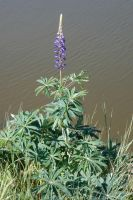 large-leaved lupine by Takiako-Nakashi