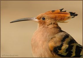 Hoopoe. by israelfi