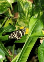 Citrus Swallowtail on a Leaf by TheSleepyRabbit