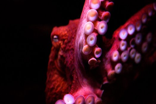 Seaworld - 20141229 - 00075 - Octopus - SMALL by TomFawls