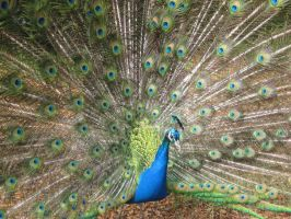 a peacock by TomBydand