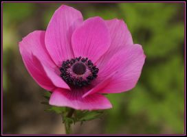 Pink Anemone by Firey-Sunset