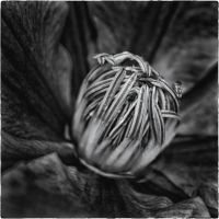Toned wet Clematis by tmfNeurodancer