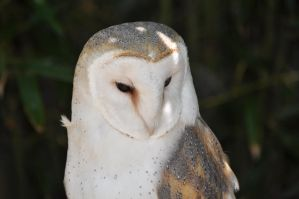 Barn Owl by rayrussell2000uk