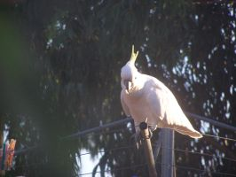 Sulpher Crested Cockatoo 3 by DreamsDeleted