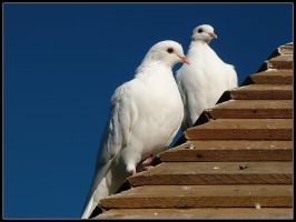 Doves 2 by cycoze