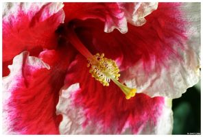 Red White Hibiscus by ewm