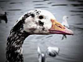 goosey goosey by awjay