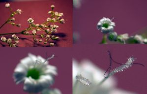 Macro images of gypsophila by Steve-FraserUK