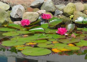 water lilies by TomKilbane