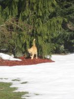 orange cat in snow 04 by CotyStock