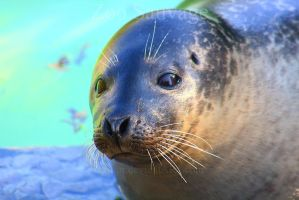 Harbour Seal by Sagittor