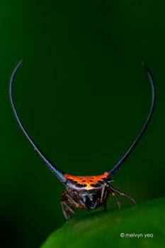 Long-Horned Orb-weaver (Macracantha arcuata) by melvynyeo