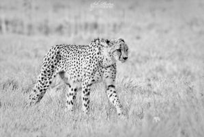 The walk of the predator! by Seb-Photos