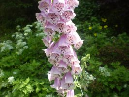FoxGlove Flower by reiney