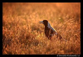 Magpie by TVD-Photography