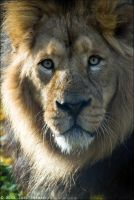 Asiatic Lion 20-118 by lomoboy