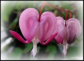 Blooming hearts... by ansdesign