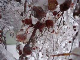 Frozen Crab-Apples 3 by Jonping