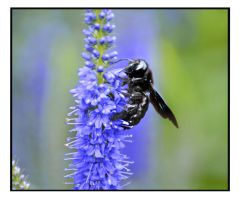 xylocopa violacea by bracketting94
