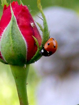 Lady Bug, No. 02 by myu2k2
