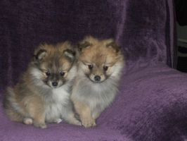 Pomeranian Puppies by PonxZixRomanticeyx