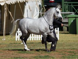 STOCK - 2014 TotR Arabians-1 by fillyrox