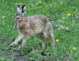 Untitled Hare 1 by TomiTapio