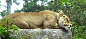 Nap time for the Lioness by musicsuperspaz