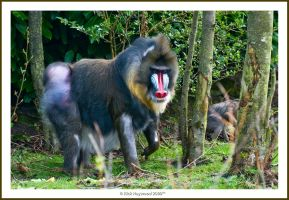 The Mandrill 192-9n by mym8rick