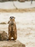 Meerkat 5 by tpphotography