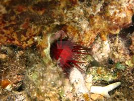 ROPanama Research: Red Urchin by Namyr