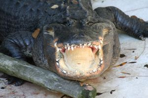 Gator Grins by shelly349