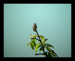 Willow Flycatcher by swashbuckler