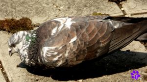 Feral Pigeon 009 (06.06.13) by LacedShadowDiamond