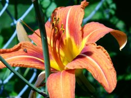 Orange Lilly by Musicalcupcake93