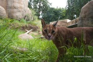 Caracal by Evanescent-Chaos